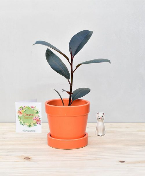 Ceramic Band Pot Orange with Rubber Plant
