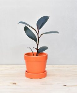 Ceramic Band Pot Orange with Rubber Plant 2