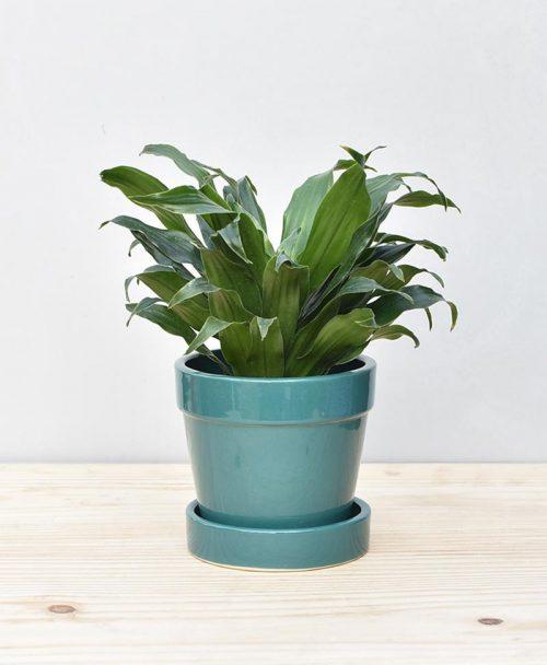 Ceramic Band Pot Peacock Blue with Exotic Draceana Compacta 2