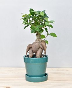 Ceramic Band Pot Peacock Blue with Exotic Ficus Ginseng – Ficus Microcarpa 2