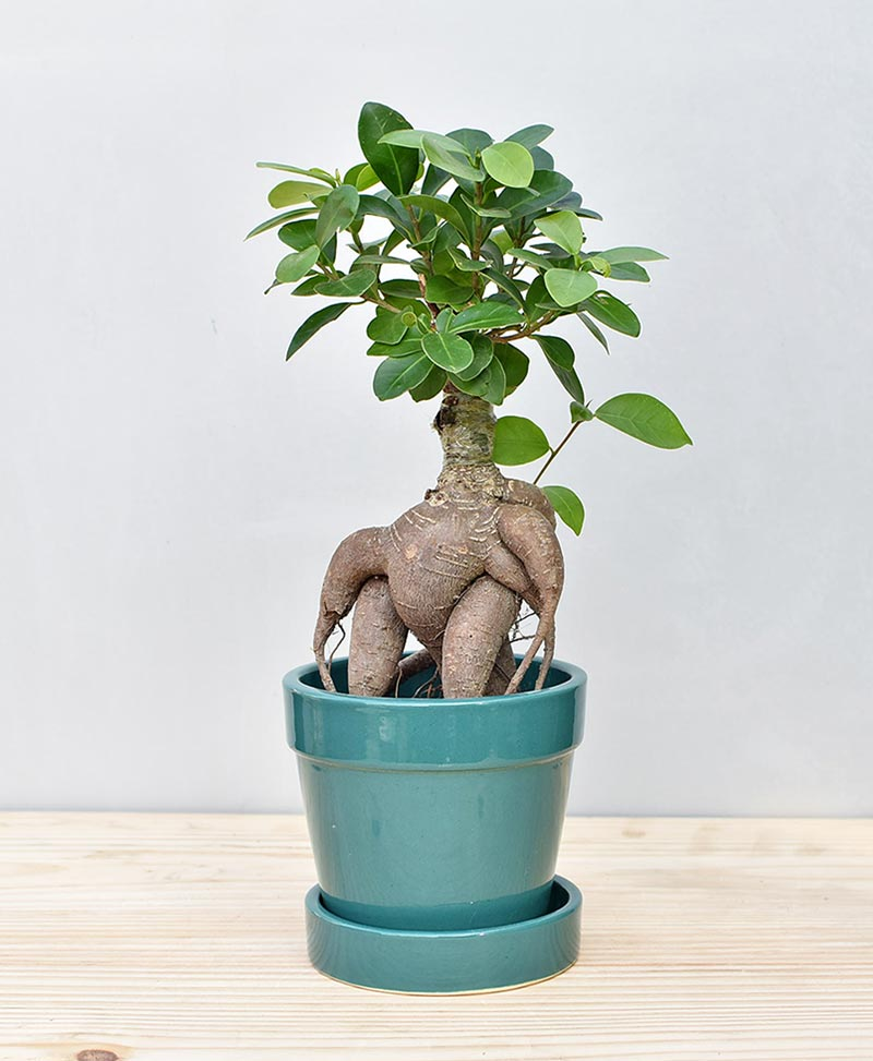 Ceramic Band Pot Peacock Blue with Exotic Ficus Ginseng – Ficus Microcarpa