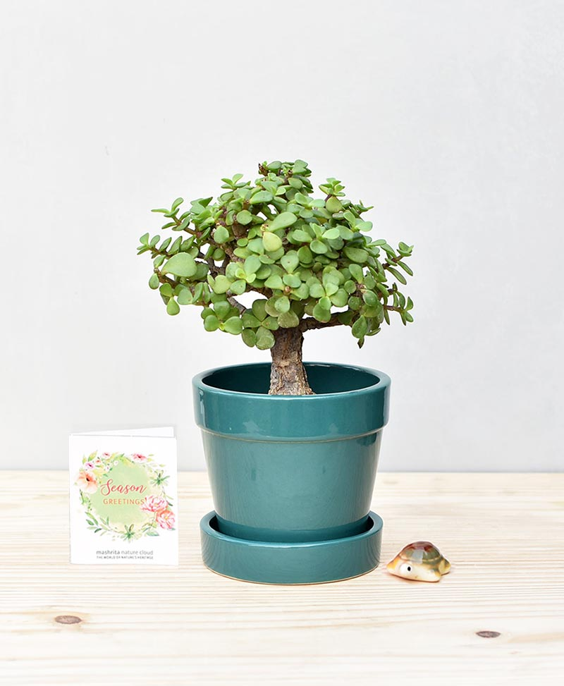 Ceramic Band Pot Peacock Blue with Exotic Jade Plant – Crassula Ovata