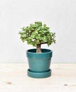 Lovely potted Crassula Ovata Jade Plant Money Tree in Ceramic  Brings Good Luck