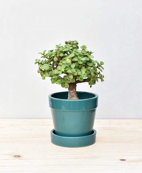 Ceramic Band Pot Peacock Blue with Exotic Jade Plant – Crassula Ovata 2