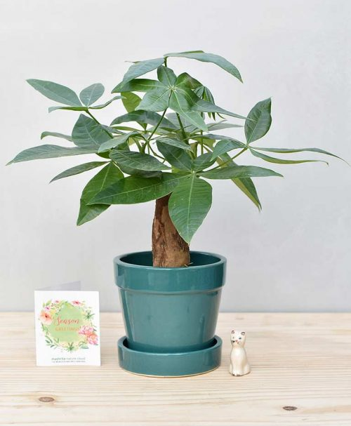 Ceramic Band Pot Peacock Blue with Exotic Money Tree – Pachira Aquatica