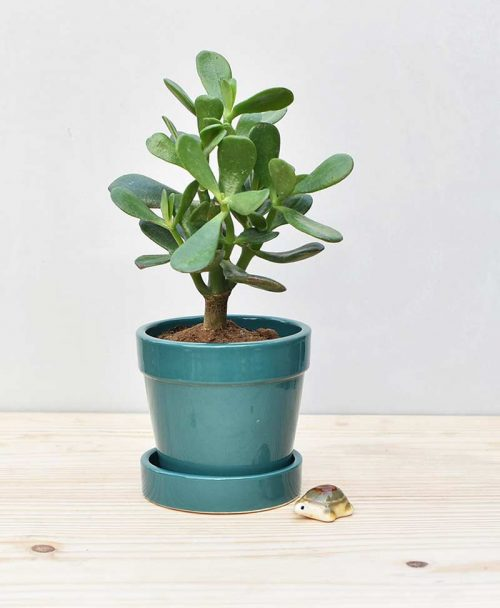 Ceramic Band Pot Peacock Blue with Jade Plant Fatty Leaves 2