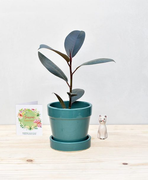 Ceramic Band Pot Peacock Blue with Rubber Plant
