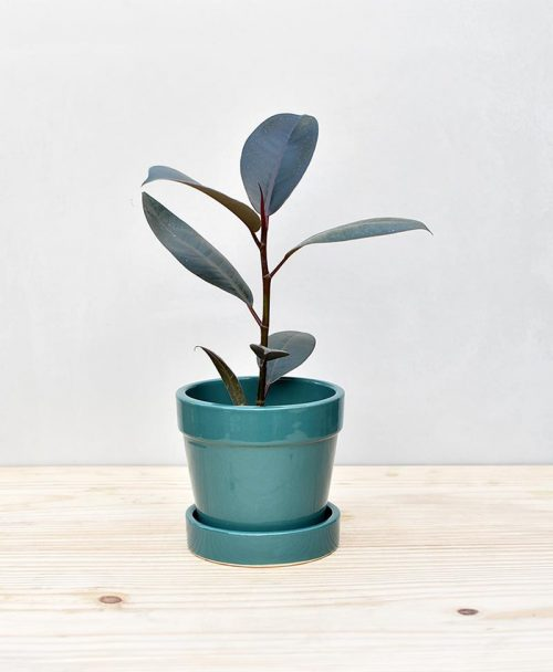 Ceramic Band Pot Peacock Blue with Rubber Plant 2