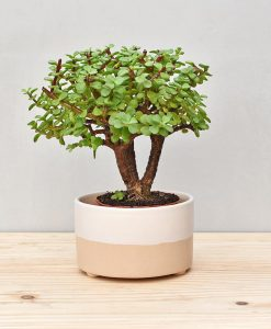 Ceramic Bonsai Tray Round 7 inch Beige