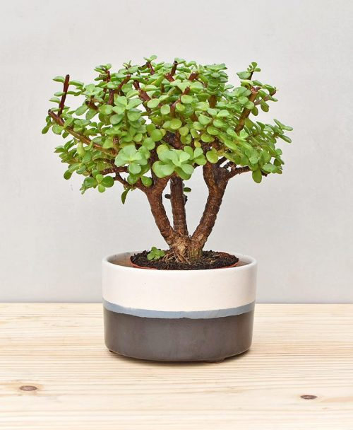 Ceramic Bonsai Tray Round 7 inch Black