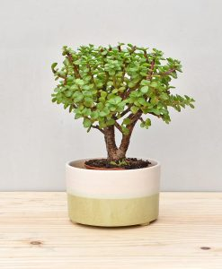 Ceramic Bonsai Tray Round 7 inch Pastel Green