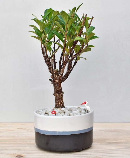 Ceramic Bowl Tray Black with Ficus Formosana Bonsai 1