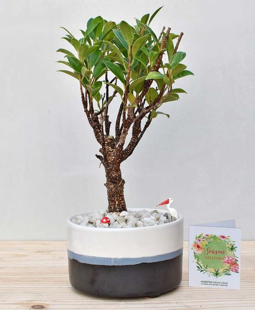 Ceramic Bowl Tray Black with Ficus Formosana Bonsai 2