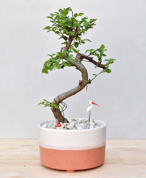 Ceramic Bowl Tray Coral with Elm Bonsai