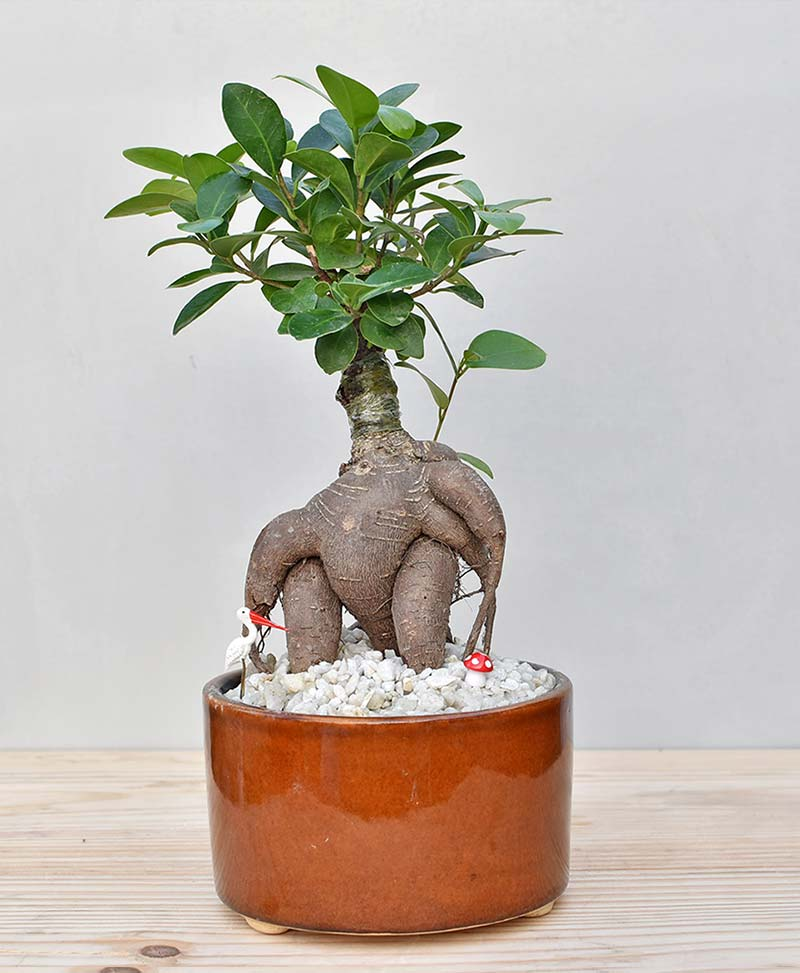 Ceramic Bowl Tray Dark Brown with Ficus Microcarpa Bonsai 1