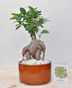 Ceramic Bowl Tray Dark Brown with Ficus Microcarpa Bonsai 2