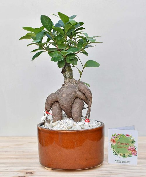Ceramic Bowl Tray Dark Brown with Ficus Microcarpa Bonsai 2
