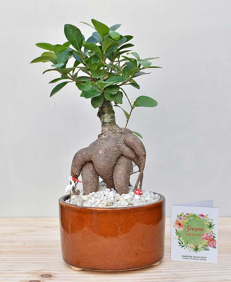 Ceramic Bowl Tray Dark Brown with Ficus Microcarpa Bonsai