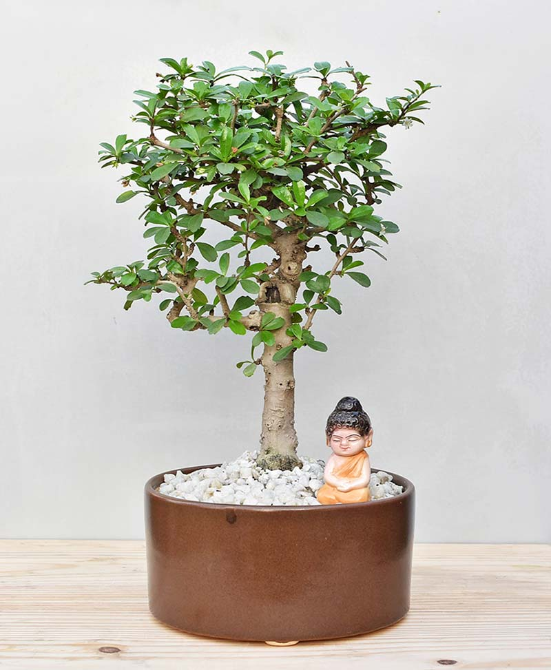 Ceramic Bowl Tray Brown with Carmona Microphylla Bonsai