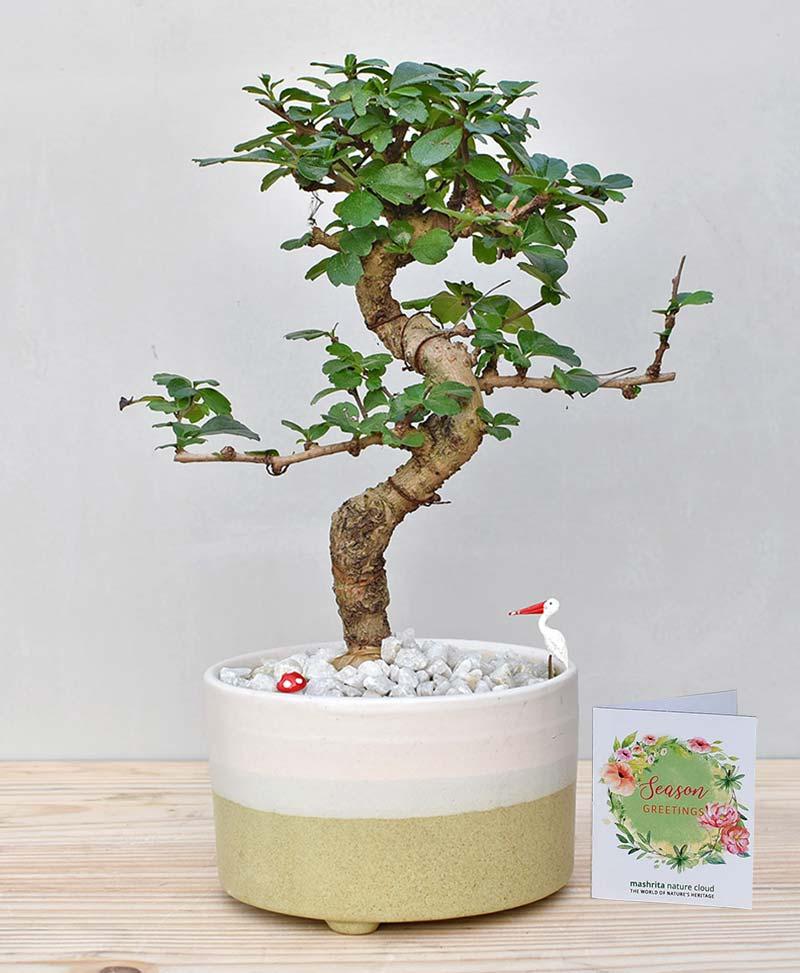 Ceramic Bowl Tray Pastel Green with Carmona Microphylla Bonsai