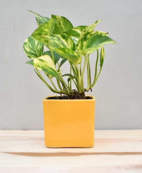 Ceramic Cube Pot 3 inch Mustard Yellow