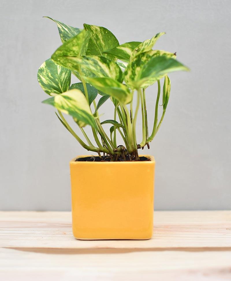 Ceramic Cube Pot 3 inch Mustard Yellow