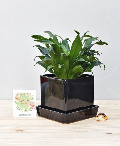 Ceramic Cube Pot Black with Exotic Draceana Compacta