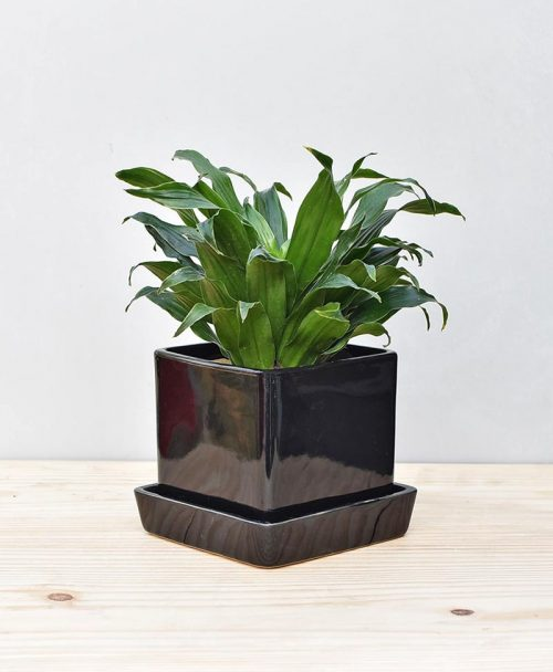 Ceramic Cube Pot Black with Exotic Draceana Compacta 2