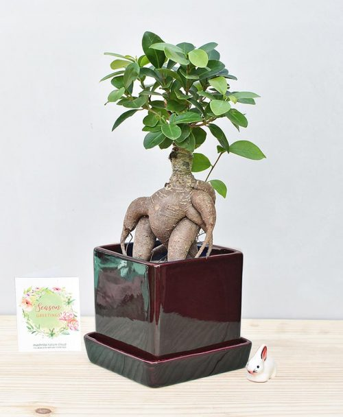Ceramic Cube Pot Black with Exotic Ficus Ginseng – Ficus Microcarpa