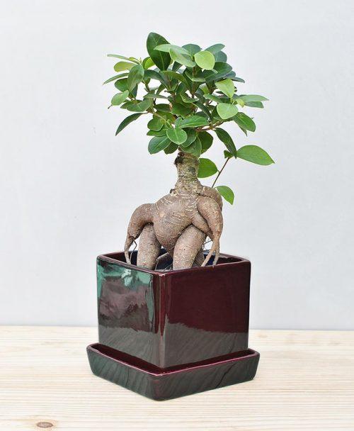 Ceramic Cube Pot Black with Exotic Ficus Ginseng – Ficus Microcarpa 2