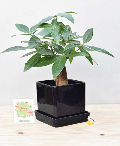 Ceramic Cube Pot Black with Exotic Money Tree – Pachira Aquatica