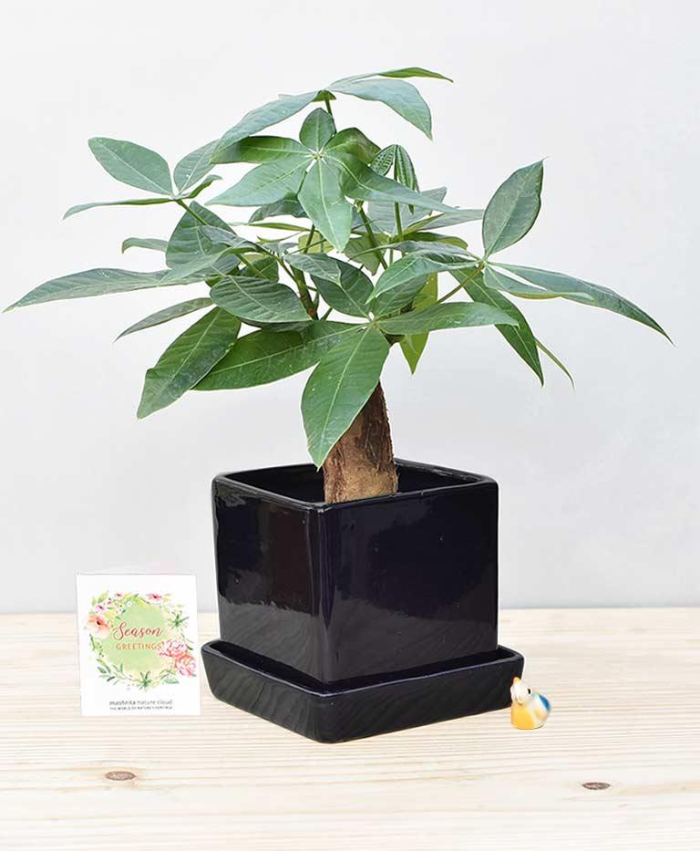 Ceramic Cube Pot Black with Exotic Money Tree – Pachira Aquatica