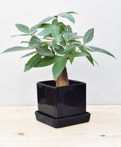 Ceramic Cube Pot Black with Exotic Money Tree – Pachira Aquatica 2