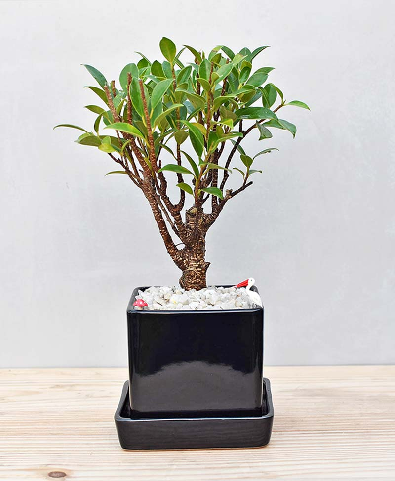 Ceramic Cube Pot Black with Ficus Formosana Bonsai 1