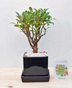 Ceramic Cube Pot Black with Ficus Formosana Bonsai 2