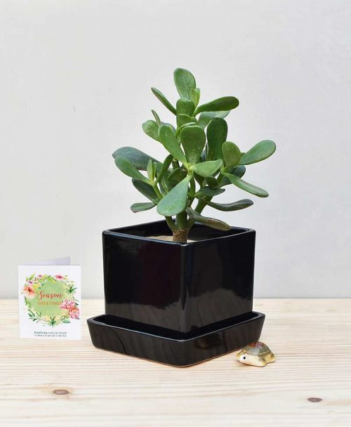 Ceramic Cube Pot Black with Jade Plant Fatty Leaves