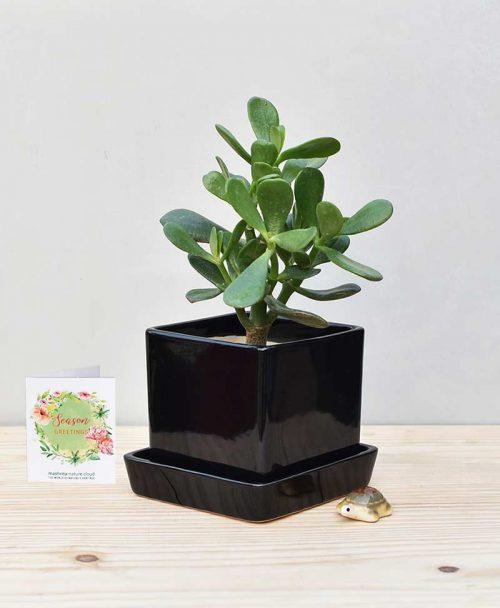 Ceramic Cube Pot Black with Jade Plant Fatty Leaves