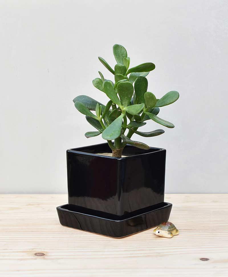 Ceramic Cube Pot Black with Jade Plant Fatty Leaves – Crassula