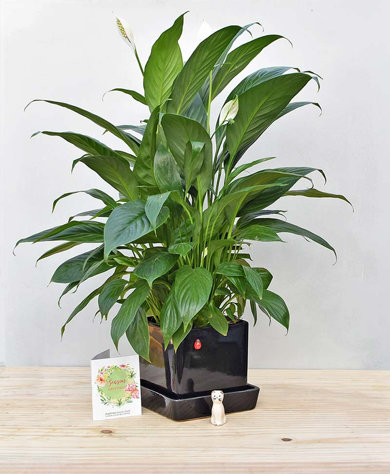 Ceramic Cube Pot Black with Peace Lily