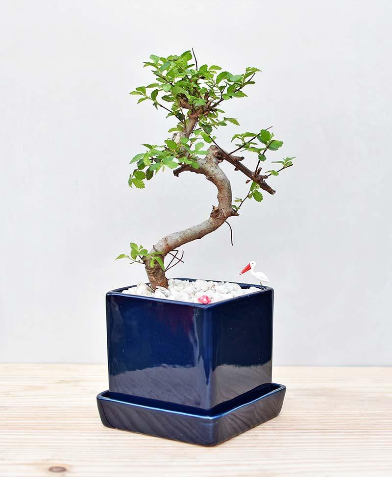 Ceramic Cube Pot Blue with Elm Bonsai 1
