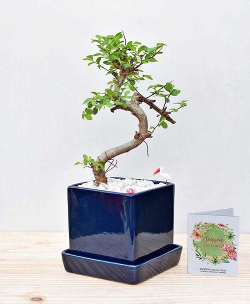 Ceramic Cube Pot Blue with Elm Bonsai 2