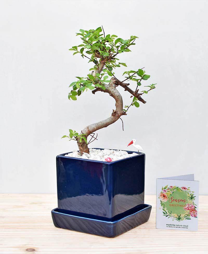 Ceramic Cube Pot Blue with Elm Bonsai