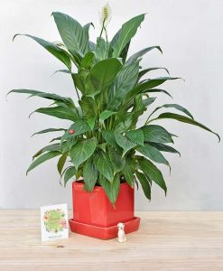 Ceramic Cube Pot Mustard Red with Exotic Peace Lily - Spathiphyllum