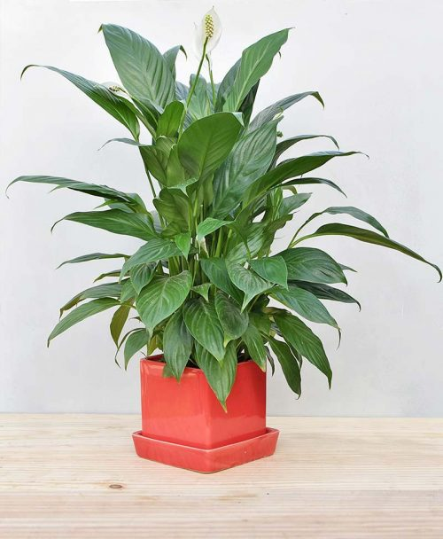 Ceramic Cube Pot Mustard Red with Exotic Peace Lily - Spathiphyllum 2