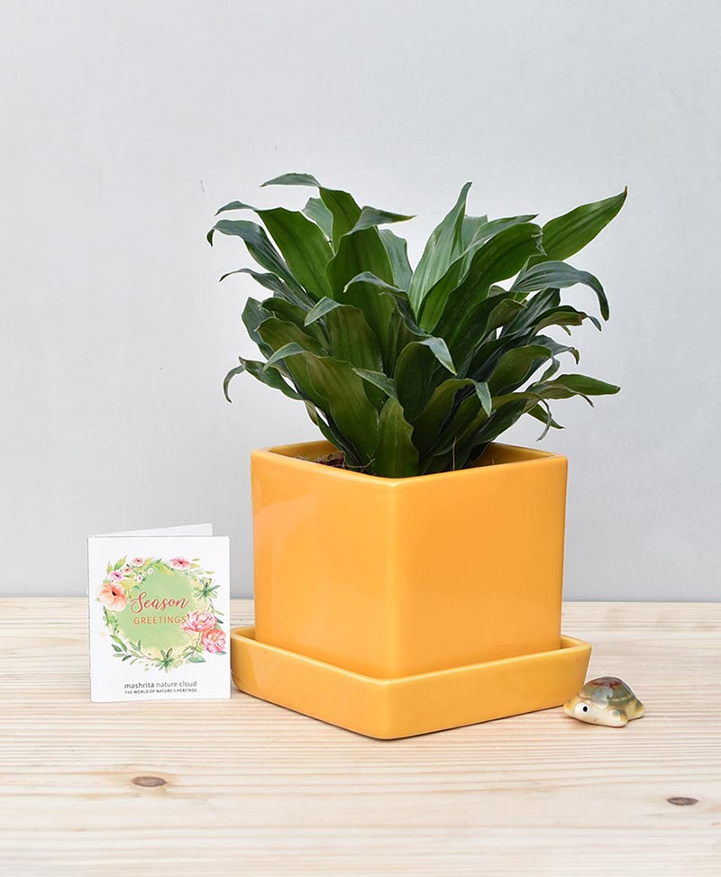 Ceramic Cube Pot Mustard Yellow with Exotic Draceana Compacta