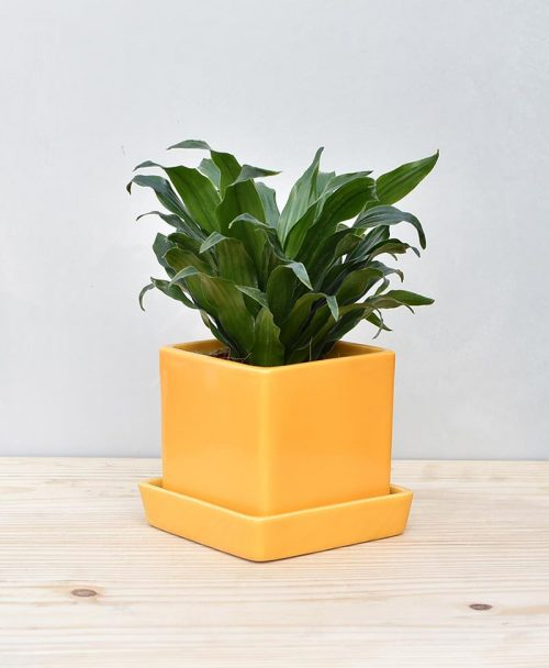 Shop Best Office Desk Plants Online Gurgaon Delhi Noida