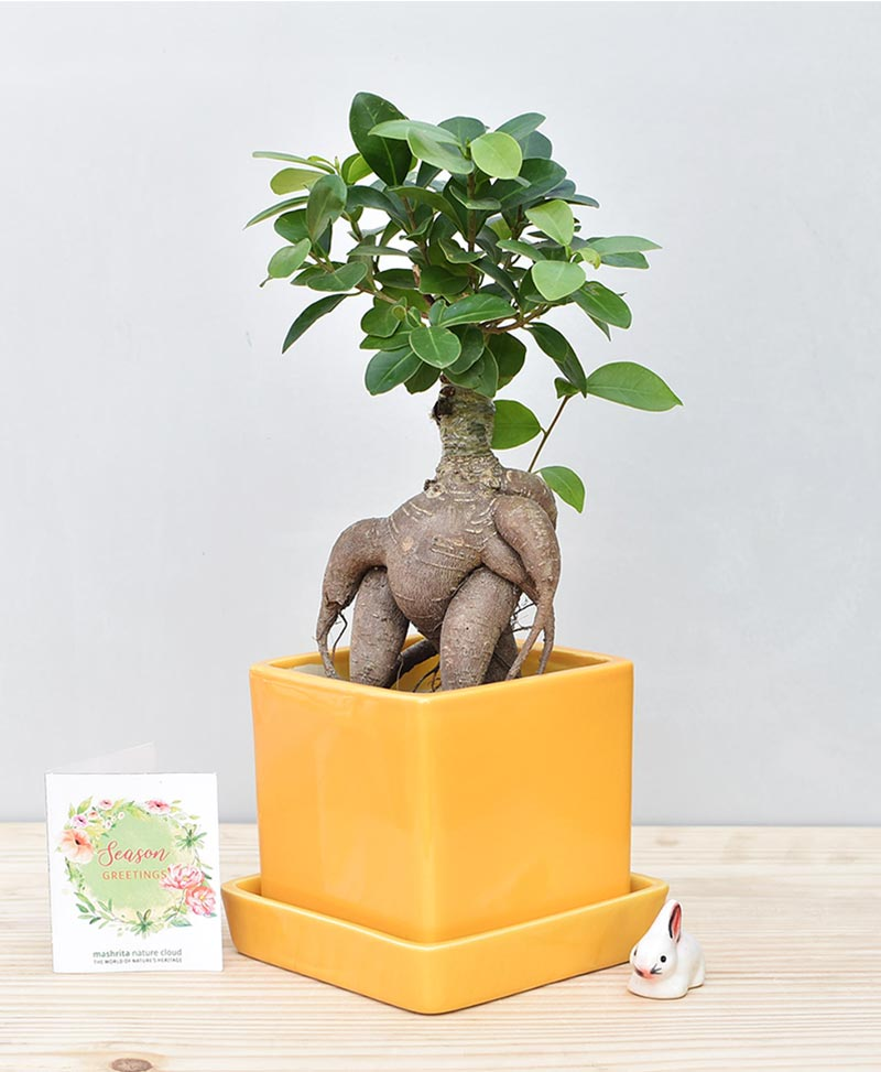 Ceramic Cube Pot Mustard Yellow with Exotic Ficus Ginseng – Ficus Microcarpa