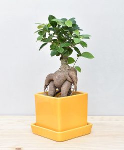 Ceramic Cube Pot Mustard Yellow with Exotic Ficus Ginseng – Ficus Microcarpa 2