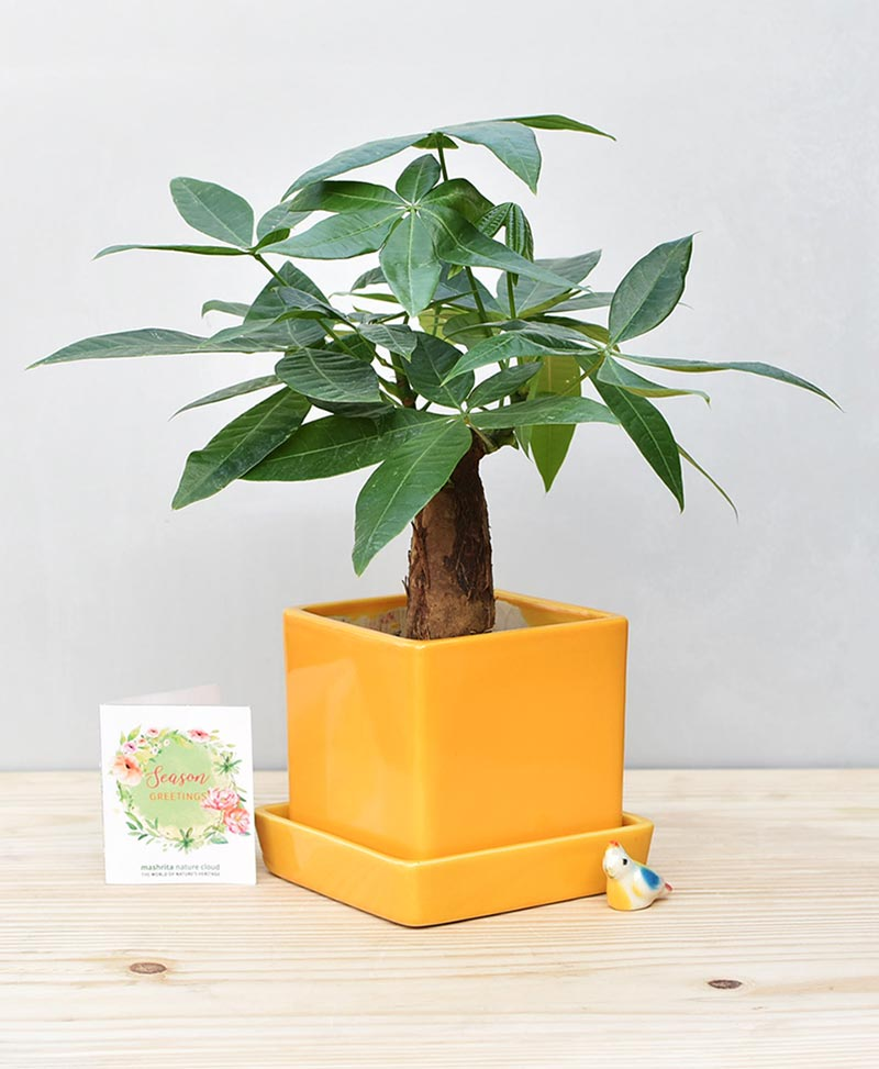 Ceramic Cube Pot Mustard Yellow with Exotic Money Tree – Pachira Aquatica