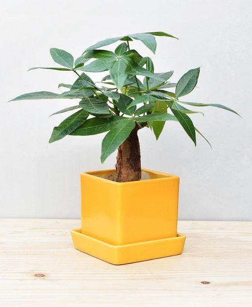 Ceramic Cube Pot Mustard Yellow with Exotic Money Tree – Pachira Aquatica 2